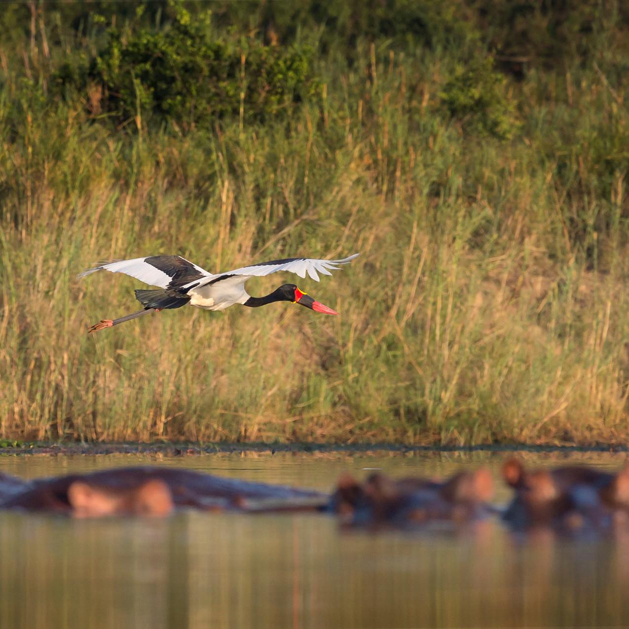 African saddle billed stork
