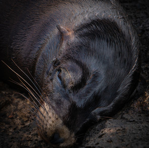 Sea Lion in Cave
