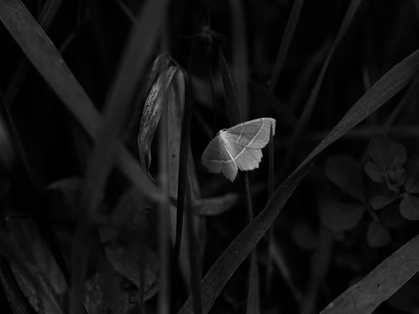 Little white butterfly