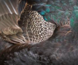Hybrid mallards feathers
