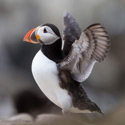 The mighty puffin