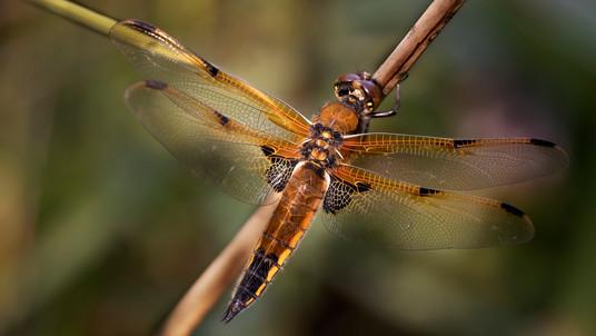A47I8649_dragonfly.jpg
