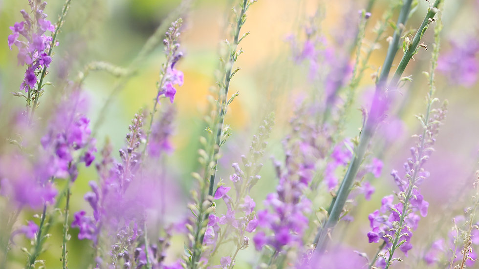 CY6A0151_lavender_web.jpg