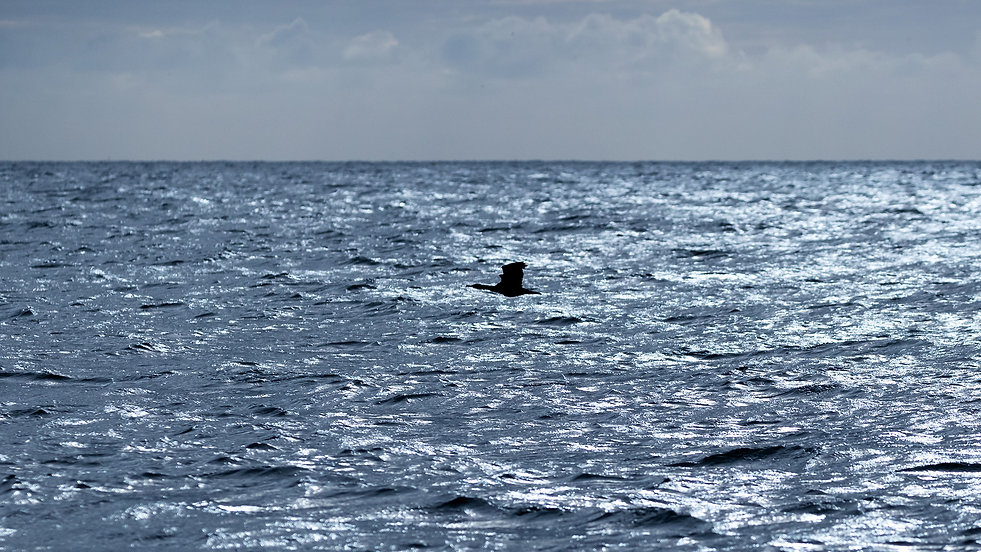 Cormorant flying over the sea