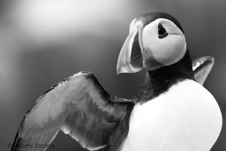 puffin-black-white.jpg