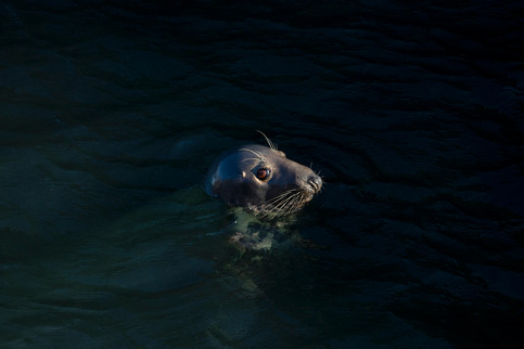 A47I0743_atlantic_seal.jpg
