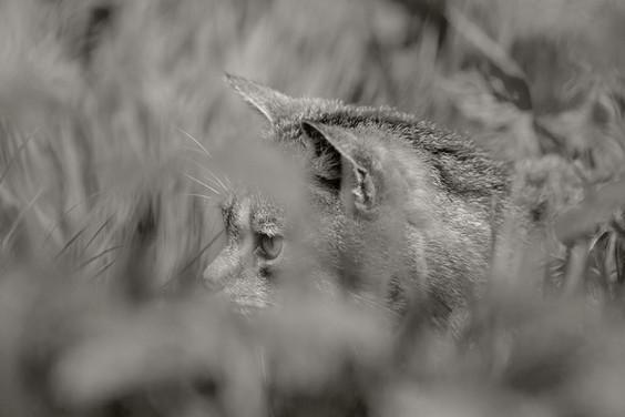 A47I1852_scottish_wildcat.jpg