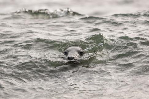 Atlantic seal