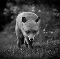BLACKANDWHITE_RX7A1187_fox_use.jpg