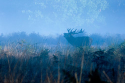 Stag at dawn