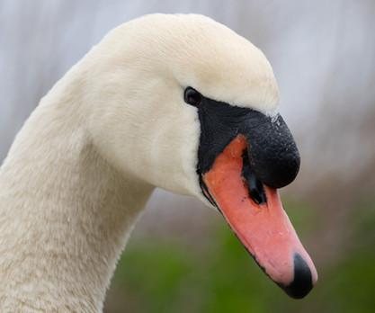 Swan's head
