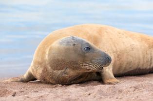 Atlantic grey seal