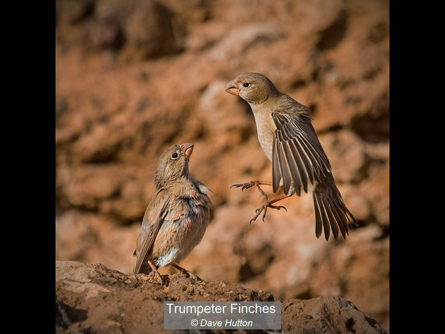 Trumpeter finches