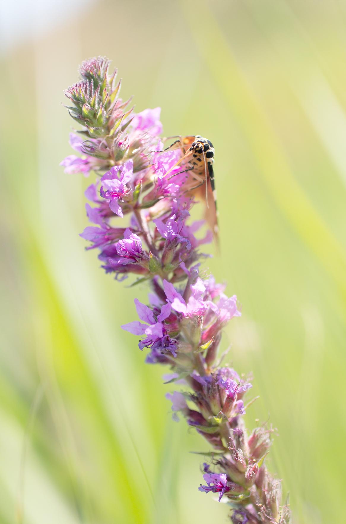 Moth on a wildlflower