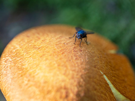 A fly on a mushroom