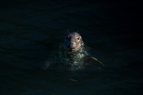 Atlantic Grey Seal, Bardsey Island, North Wales