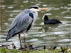 Grey heron and coot in the rain