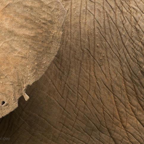 elephant-skin-ear.jpg