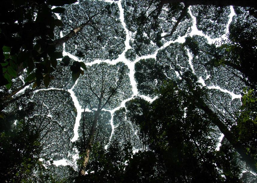 Socially distanced Kauri trees