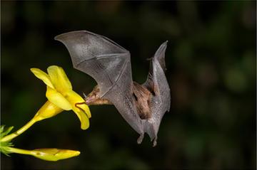 030_Long Tongued Bat_Sheila Haycox_EPG.j