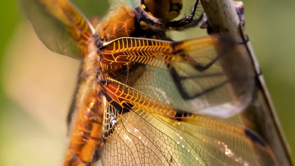 A47I8627_dragonfly.jpg
