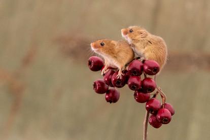 Harvest Mice (Micromys minitus)