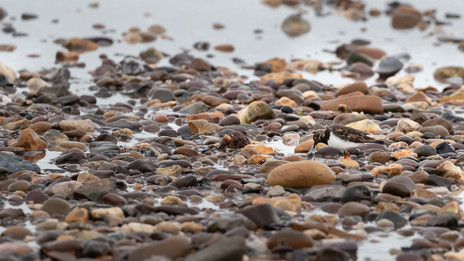 Turnstone feasting on the carnage