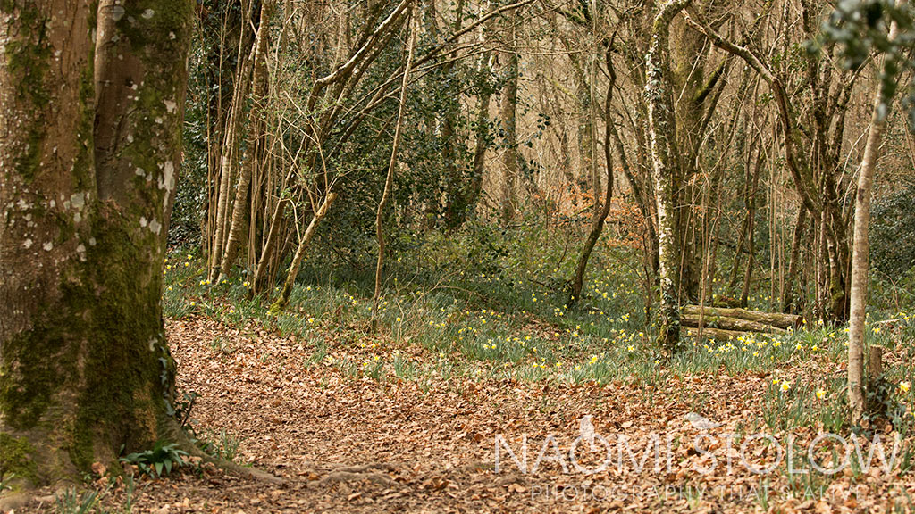 wild daffodil woods at Dunsford