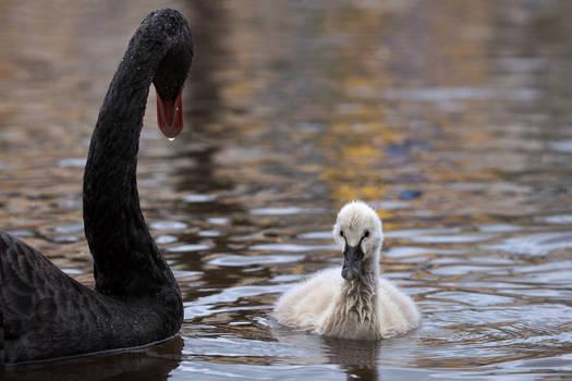 1K4A6630_baby_black_swan_web.jpg