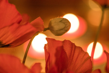 Poppies by candlelight