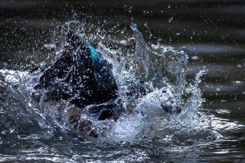 Splashing about duck