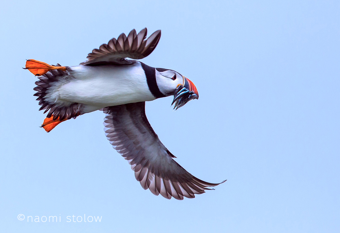 Puffin flying