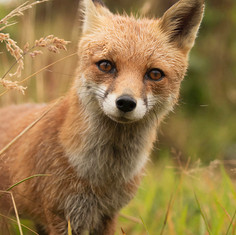 PORTRAIT_fox_standing_ready.jpg