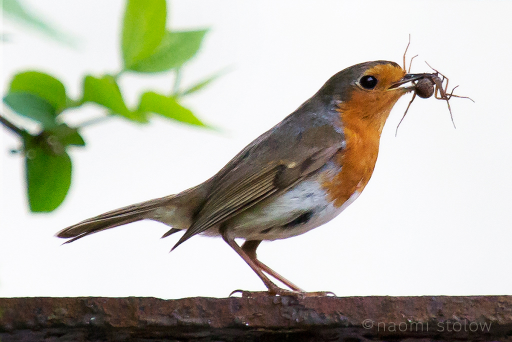 Robin eating a spider