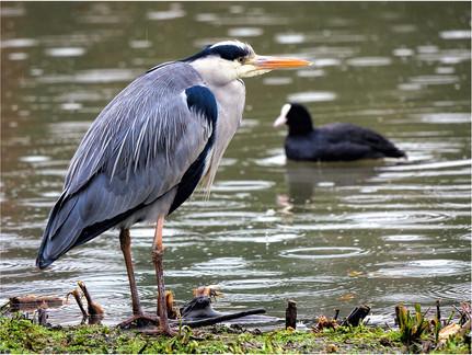 Grey heron and coot in rain