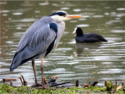 Grey heron and coot in rain