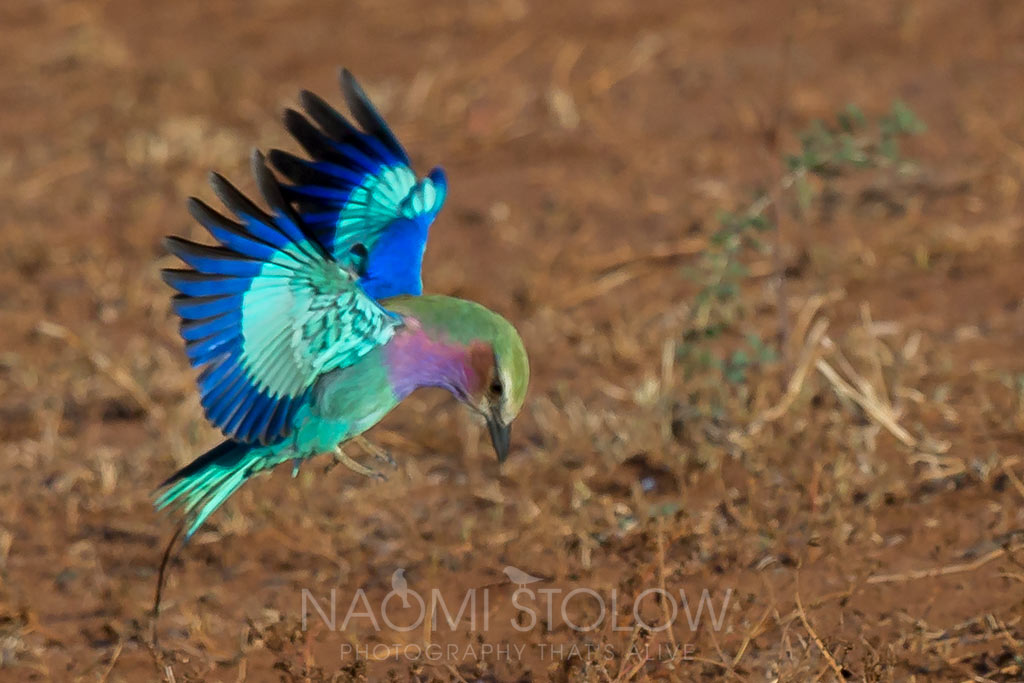 Lilac breasted roller flying