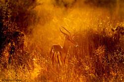 Impala at sunrise