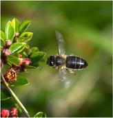 Welsh Black Honey Bee