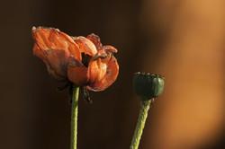 Old poppy
