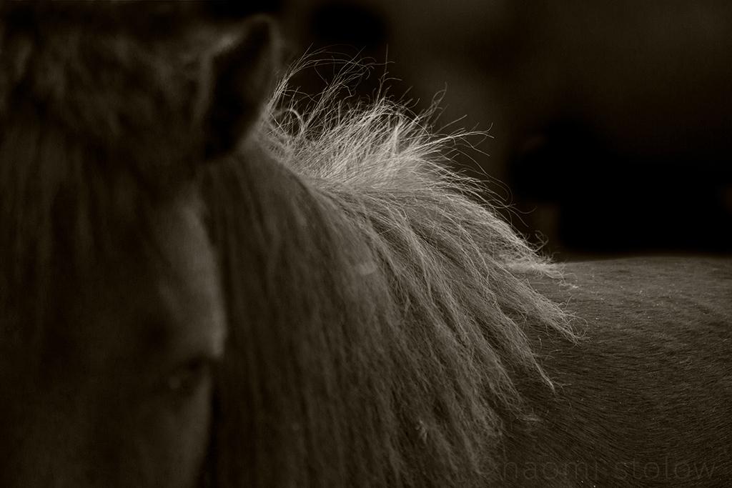 Dartmoor pony's mane