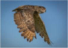Eagle owl ©Steve Capewell