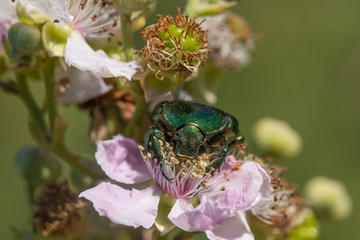 Rose Chafer munching pollen