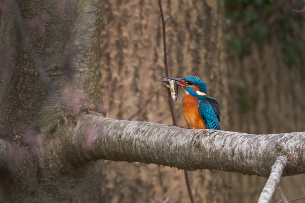 A47I5642_kingfisher_web.jpg