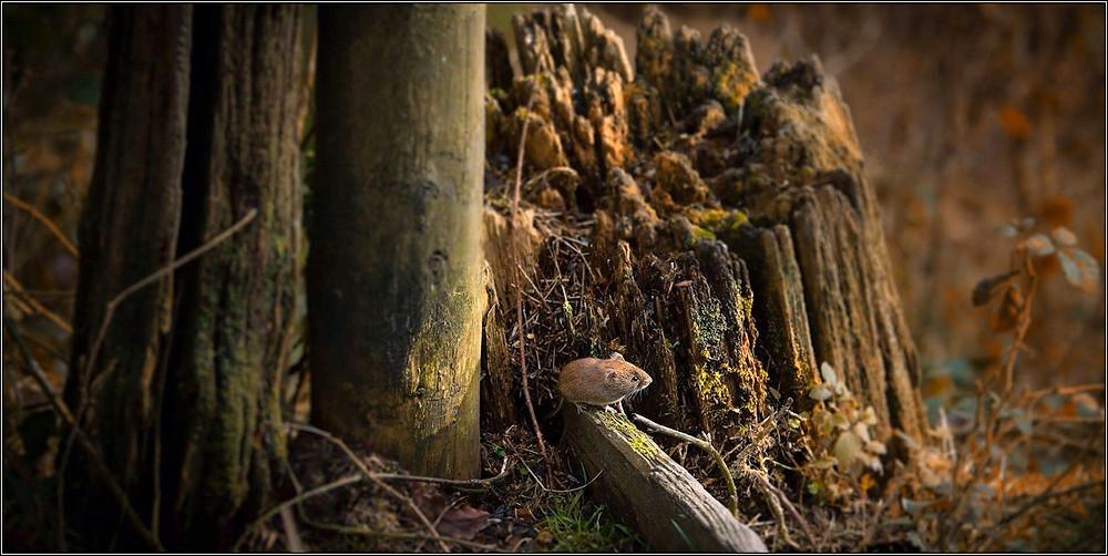 Bank Vole enjoying autumn sunlight © David Snow