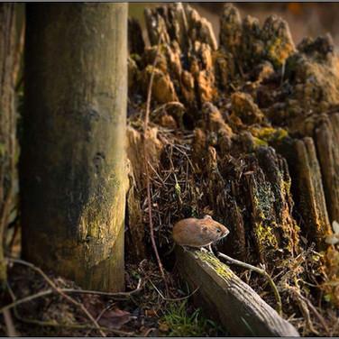 Bank vole enjoying autumn sunlight