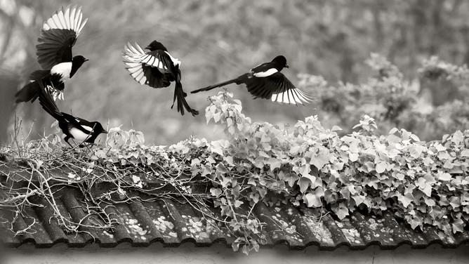 A47I0526_magpies_web.jpg