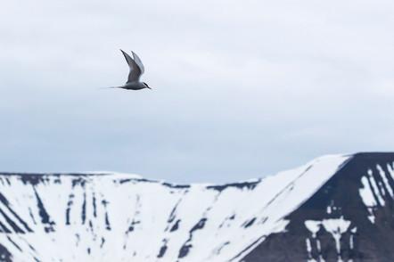 A47I8036_arctic_tern.jpg