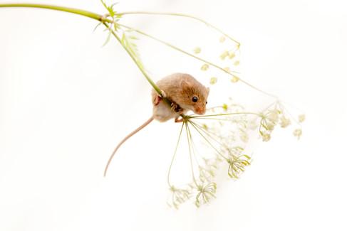 Harvest Mouse (Micromys minitus)