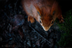 Red squirrel from above